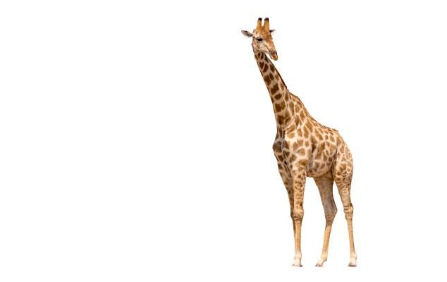 Broadband VoIP IT Solutions   Tatton Tech   Giraffe